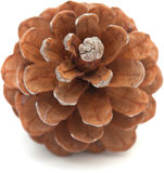 Aleppo pine cone Royalty Free Stock Photos