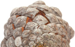 Aleppo pine cone Royalty Free Stock Images
