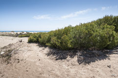 Aleppo Pine, Pinus halepensis, growing in dunes Stock Photos