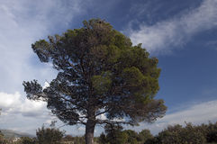 Aleppo pine tree. With cloudy blue sky in background royalty free stock photos