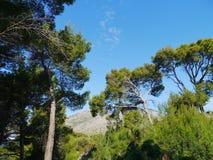 Aleppo spruce fir trees opposite a blue sky Stock Photography
