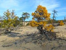 Alerce amarillo en la arena en el lago Baikal Fotos de archivo