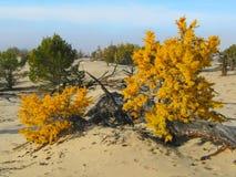 Alerce amarillo en la arena en el lago Baikal Imagen de archivo libre de regalías