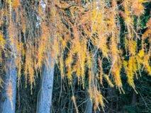 Alerce con las agujas amarillas de oro Foto de archivo libre de regalías