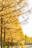 Alerce de oro en el otoño Foto de archivo libre de regalías