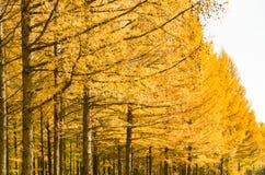 Alerce de oro en el otoño Imágenes de archivo libres de regalías