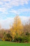 Alerce del otoño con los arbustos de enebro Fotos de archivo