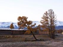 Alerce del otoño en el fondo de las montañas majestuosas cubiertas con nieve en otoño fotos de archivo