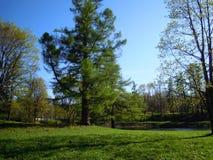Alerce (Larix) en el parque de Gatchina imagen de archivo libre de regalías