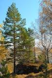 Alerce verde contra bosque del otoño en montañas Foto de archivo libre de regalías