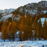 Alerces amarillos iluminados por el sol de la mañana Imagenes de archivo