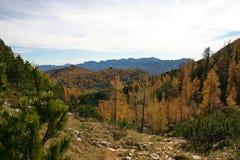 Alerces Dolina Triglavskih Jezer del otoño de Triglav NP Fotos de archivo libres de regalías