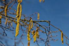 Alergia del polen de la avellana imagen de archivo libre de regalías