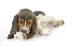 Alergias del perro fotografía de archivo