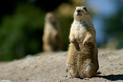 On Alert. Prairie Dog with mate in the background, on alert Royalty Free Stock Photo