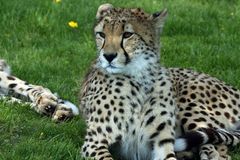 Always On Alert. Beautiful Cheetah Cub laying in the grass and watching something with interest Royalty Free Stock Image