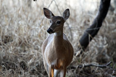On Alert. Deer standing and watching her surroundings Royalty Free Stock Photography
