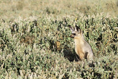 Bat-eared fox hunting stock photos