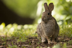Alert Adult Brown Bunny Rabbit Sitting in Forest Preserve Field stock photos