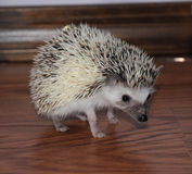Alert african pigmy hedgehog Stock Photo