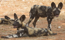 Alert African wild dog pups. (Lycaon pictus Stock Images