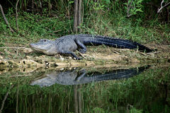 Alert Alligator on riverbank Stock Image