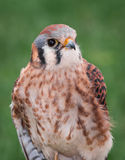 Alert American Kestrel Royalty Free Stock Photos
