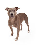 Alert American Staffordshire Terrier Dog Standing Royalty Free Stock Images