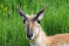 Alert Antelope. Bedded Down in Meadow Stock Images
