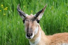 alert antilop Arkivbilder