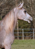 Alert Arabain Colt. Profile of grey two year old Arabian colt Stock Images