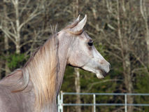 Alert Arabain Colt Royalty Free Stock Photos
