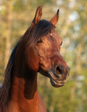 Alert Arabain Stallion Stock Photo