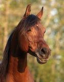 Alert Arabain Stallion. Head shot of bay arabian stallion Stock Photo