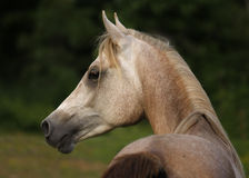 Alert Arabain two year old colt Royalty Free Stock Photography