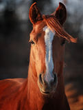 Alert Arabian Stallion. Image of young Arabian stallion with blazed face Stock Photography