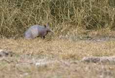 Alert armadillo at Aransas National Wildlife Refuge in Texas. Alert armadillo pauses in dry grass of Aransas National Wildlife Refuge in Texas Royalty Free Stock Images