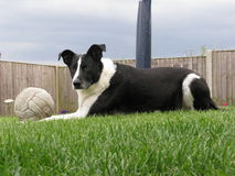 Alert B/W Dog with ball. Alert Black and White dog laid with football in england Royalty Free Stock Photos