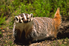 Alert Badger Royalty Free Stock Photo
