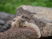 An alert Barbary ground squirrel on a rock Royalty Free Stock Photography