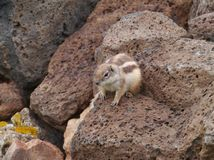 An alert Barbary ground squirrel on a rock Stock Photography