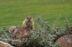 An alert Barbary ground squirrel on a rock Stock Photos