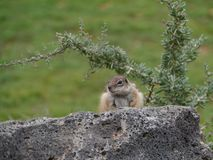 An alert Barbary ground squirrel on a rock Royalty Free Stock Images