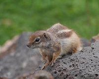 An alert Barbary ground squirrel on a rock Stock Images