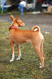Alert Basenji Stock Photos