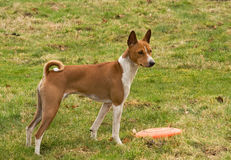Alert Basenji. A Basenji has Found a Frisbee And Is looking for alert stock photography