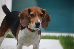 alert beagle Arkivbild