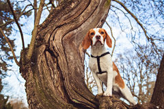 Alert beagle puppy on the tree Stock Photo