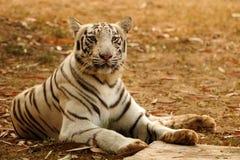Alert Bengal Tiger Royalty Free Stock Photos