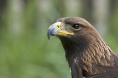 Alert Bird of Prey. This superb bird hunts by quartering ground in low flight, using cover Royalty Free Stock Photos